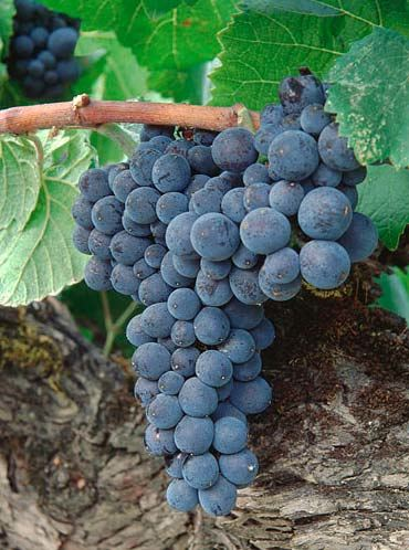 Williams Selyem continued to source West Block fruit until the winery    Pinot Noir Grape Vines