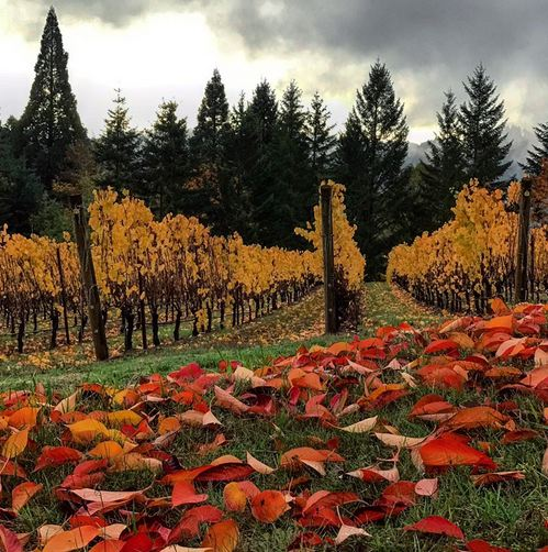 Fall for Oregon Pinot Noir   The PinotFile: Volume 10, Issue 42